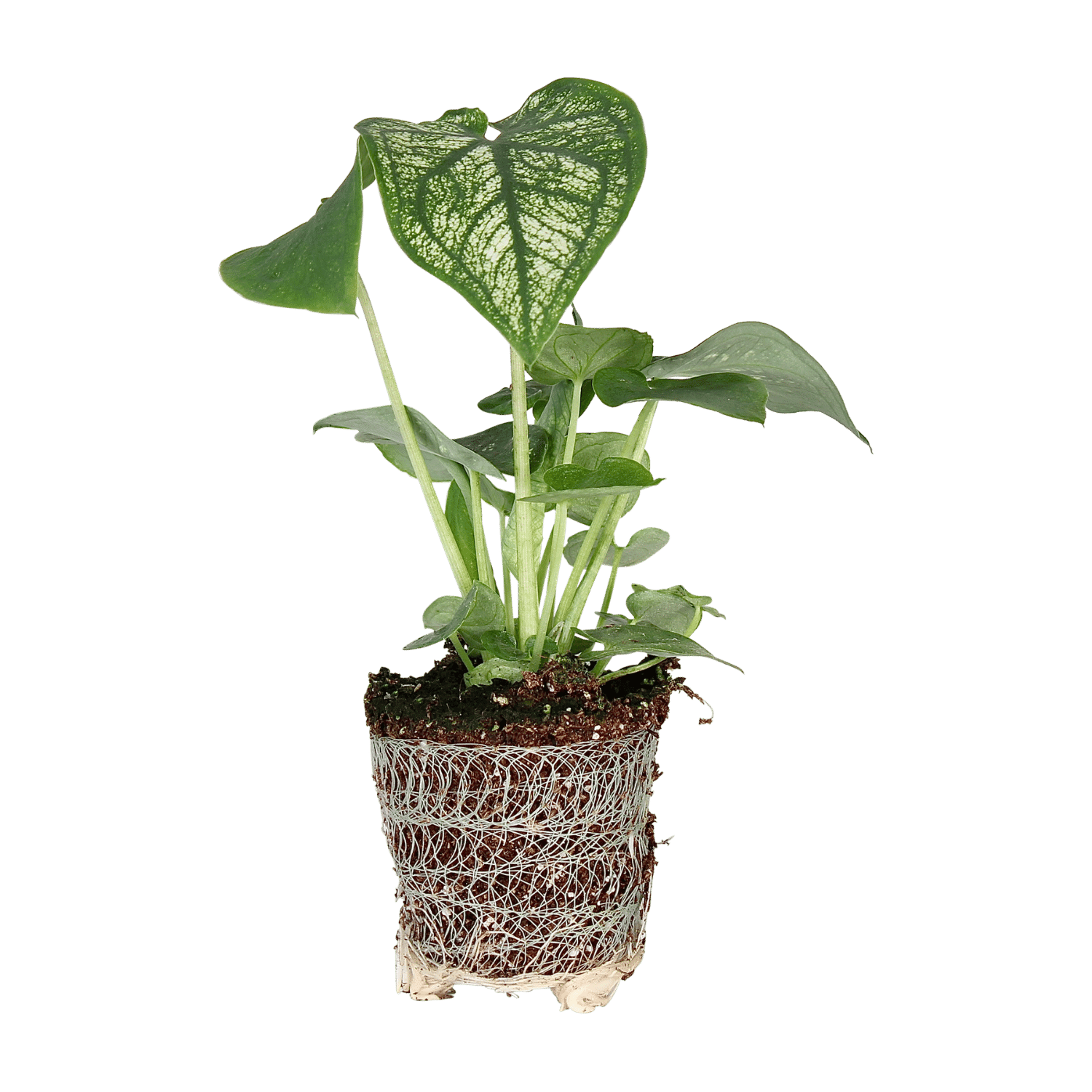 Caladium Dream - Plant Rebelz (1)