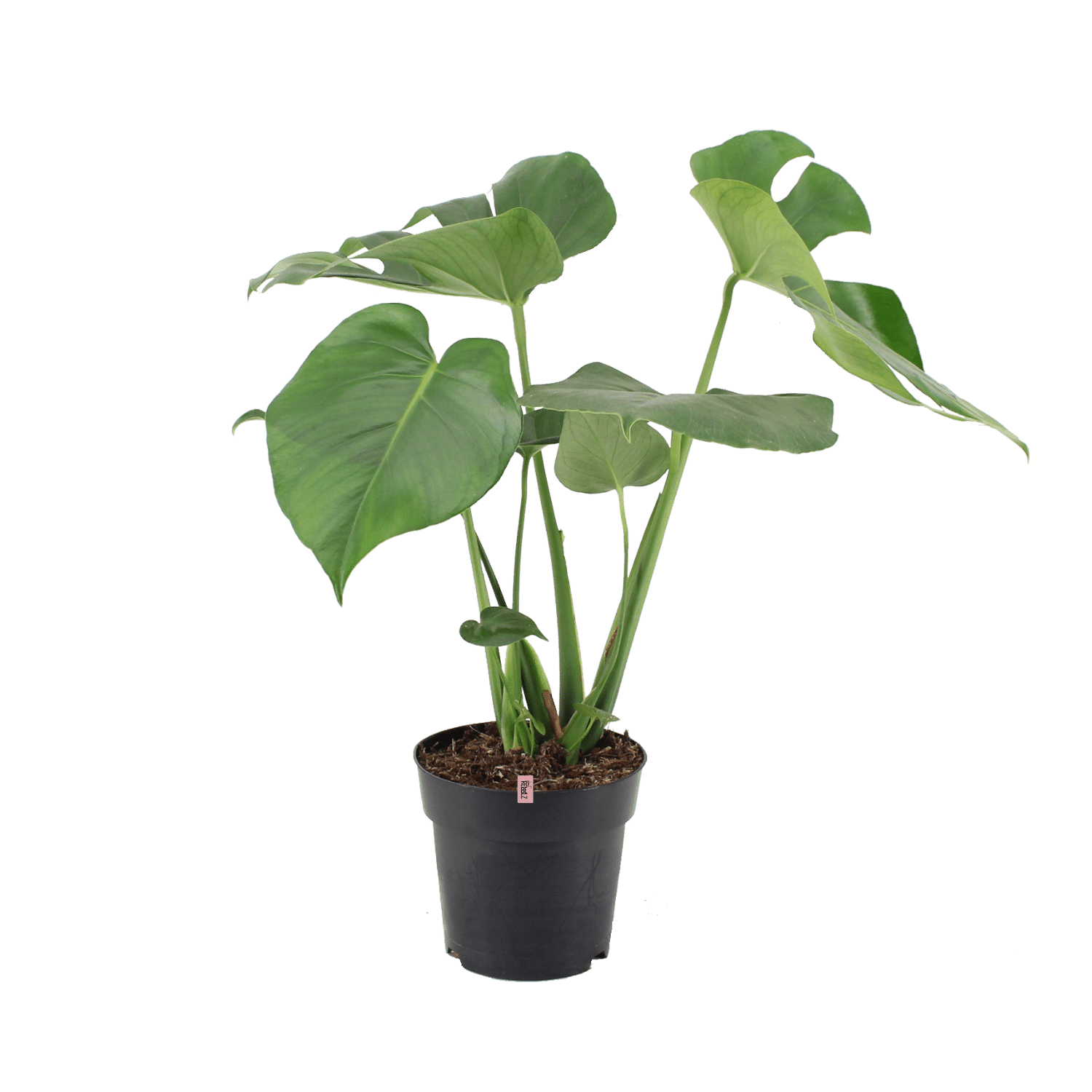 Monstera Deliciosa - Plant Rebelz - Gatenplant